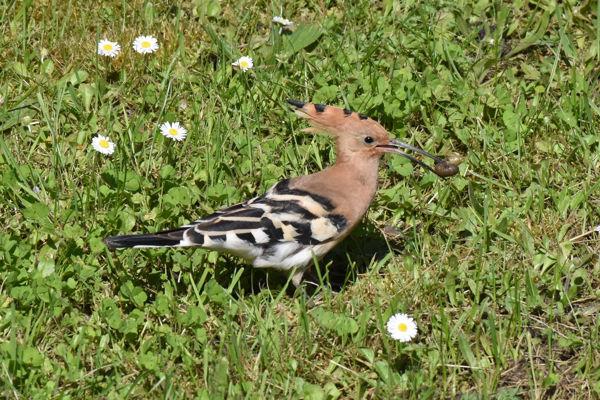 Initiation aux chants des oiseaux des parcs des jardins et des villes m rignac 33700 - Chants oiseaux des jardins ...